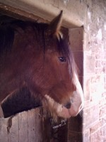 Highlight for Album: Alfie the Clydesdale